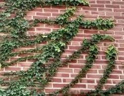 vines climbing a brick wall